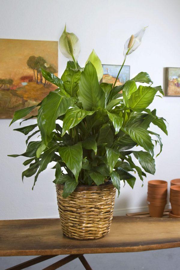 sympathy plants delivered %%sep%% sympathy plants for funerals