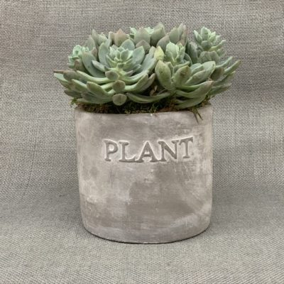 Succulent in a contemporary design pot. Ideal for the modern kitchen or home.