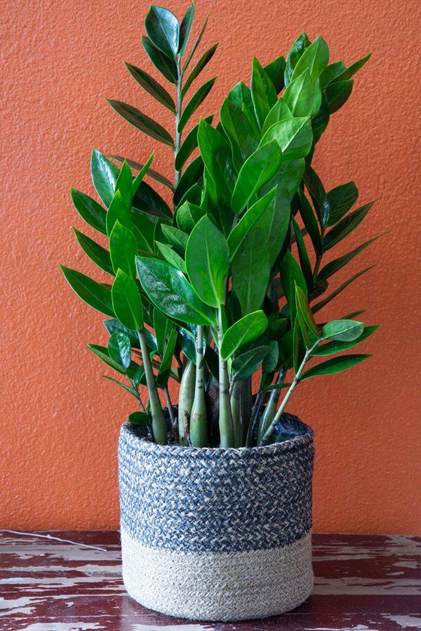 Quiet Calm-Las Vegas house plants