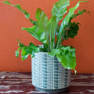 House Plant Bird's Nest Fern Gaia Flowers