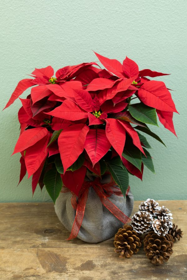 Red Poinsettia gift