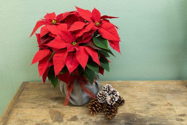 Red poinsettia Holdiay gift