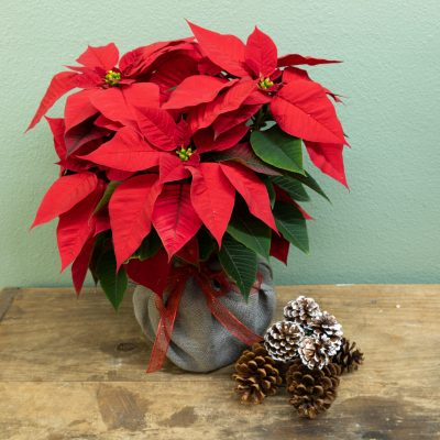 Red poinsettia with burlap