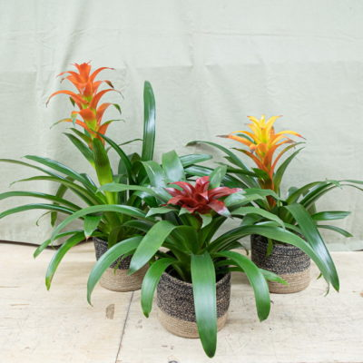 Thank you flowers. Colorful Bromeliads.