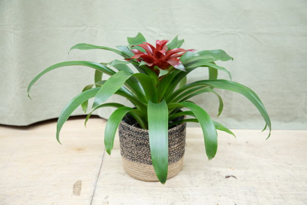 Thank you flowers. Colorful red Bromeliads.