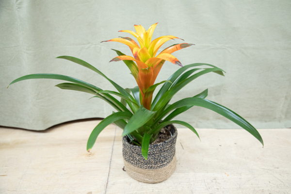 Thank you flowers. Colorful yellow Bromeliads.