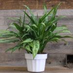 Aglaonema Cutlass - Plants for Low Light