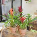 Bromeliads - Plants for Low Light