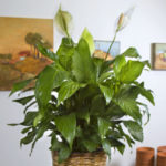 Peace Lily - Plants for Low Light