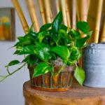 Pothos - Plants for Low Light