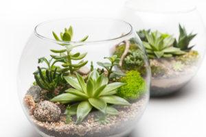 Succulents plants in clear terrarium bowls.