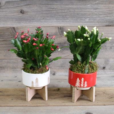 small christmas cactus