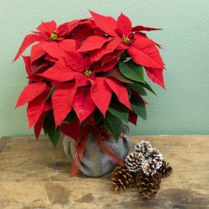 Poinsettia Christmas plant in burlap.