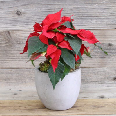 Newport Poinsettia