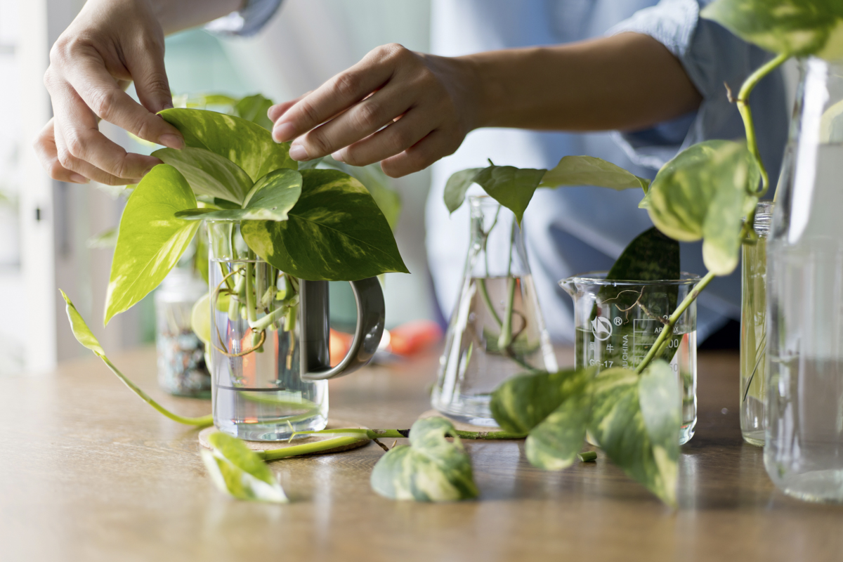 Woman propagating pothos plant from leaf cutting in water. Water propagation for indoor plants.