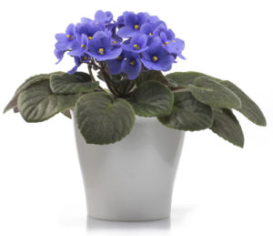 Purple African Violet isolated on white background with the whole flowerpot
