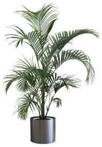 Decorative Areca Palm tree isolated on white background
