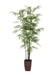 bamboo tree in pot culture on white background