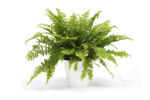 Boston fern in a pot isolated on white background