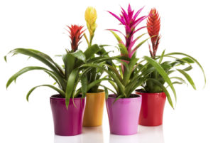 Variety of Bromeliad plants in colorful flower pots on white background.