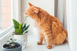 Cute ginger cat sniffs indoors plants. Flower pots with Crassula and Sansevieria.