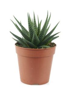 Haworthia plant in a pot on white background
