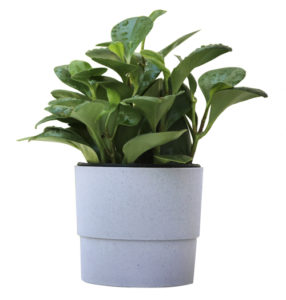 Baby Rubber Plant Dark green leaves in a gray pot