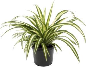 Spider plant in black pot on white background